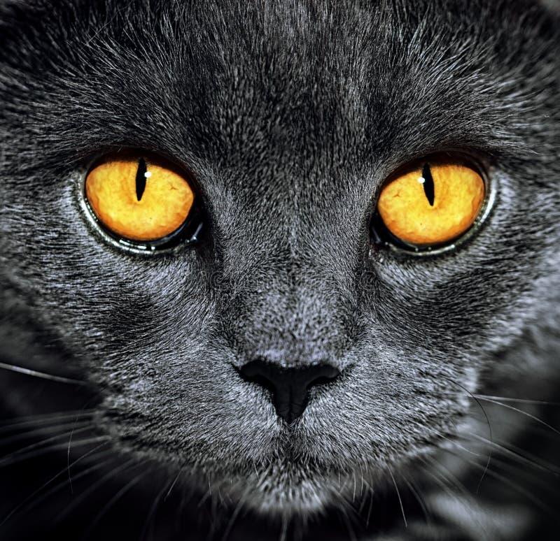 美丽的豪华华美的灰色英国猫特写镜头与vibra的