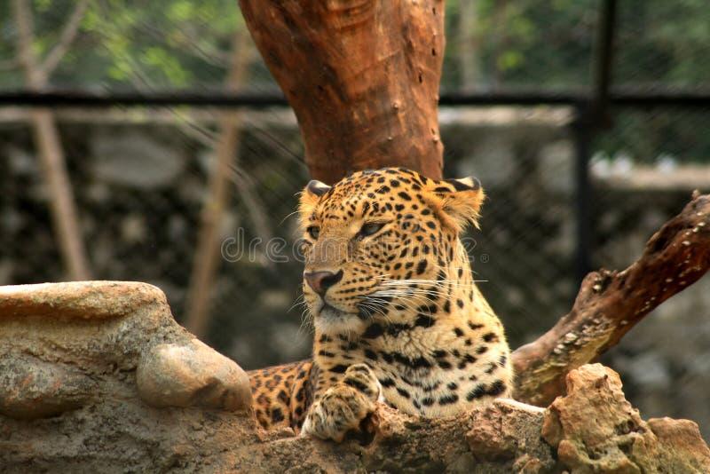 美丽的豹子 库存图片