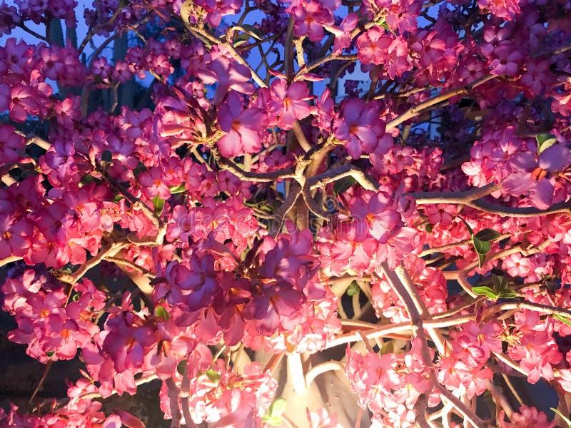 美丽的软的自然紫色红色花纹理与轻被点燃的灯瓣和分支的在晚上 免版税库存照片