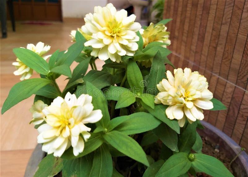 美丽的轻黄色花&绿色叶子 库存照片
