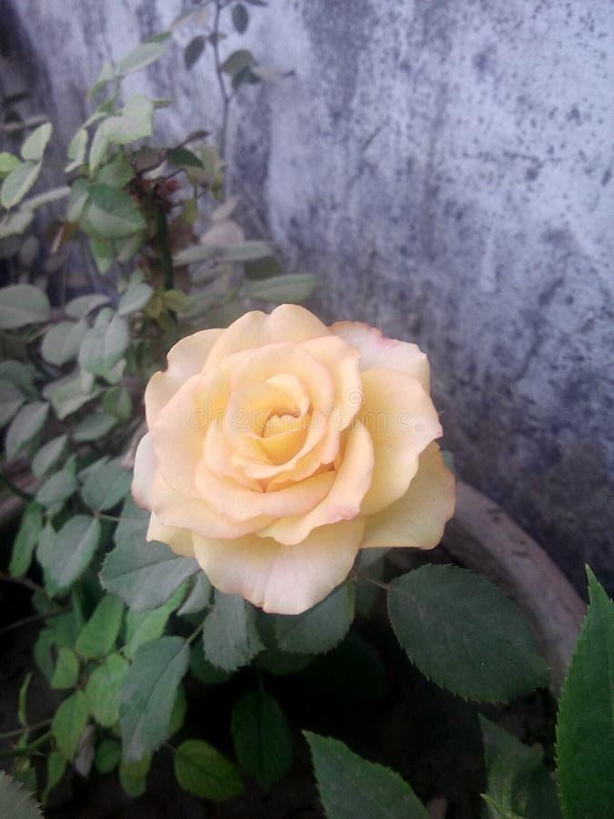 美丽的轻黄色花 免版税库存照片