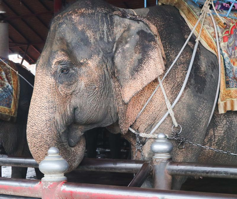 美丽的逗人喜爱的大象在庭院种田室外 库存图片