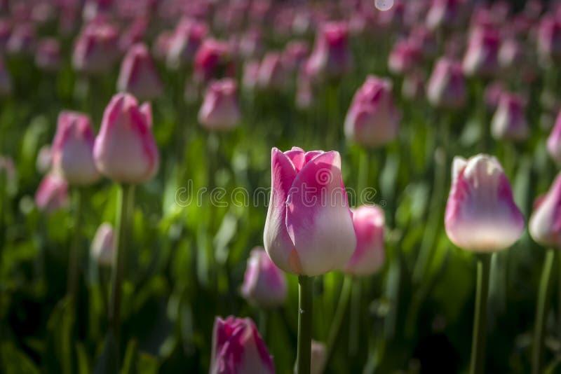 美丽的郁金香在公园 免版税库存照片