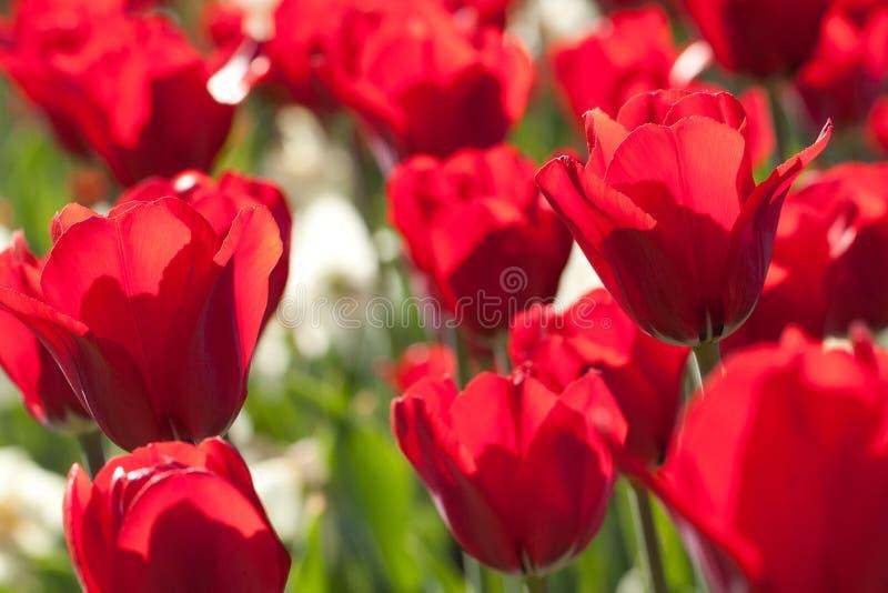 美丽的郁金香在阳光下 库存图片