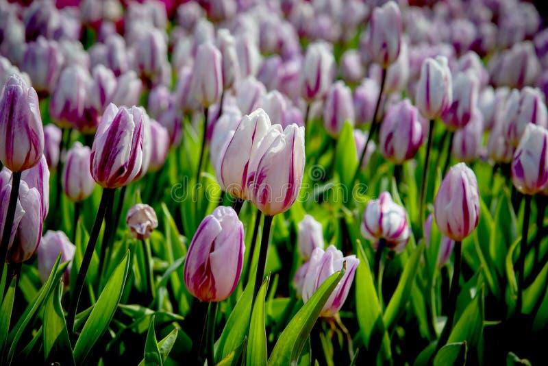 美丽的郁金香特写镜头在植物园里 免版税库存照片