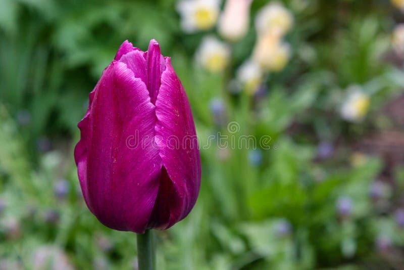 美丽的郁金香特写镜头,春天花郁金香在庭院,紫色郁金香里开花 免版税图库摄影