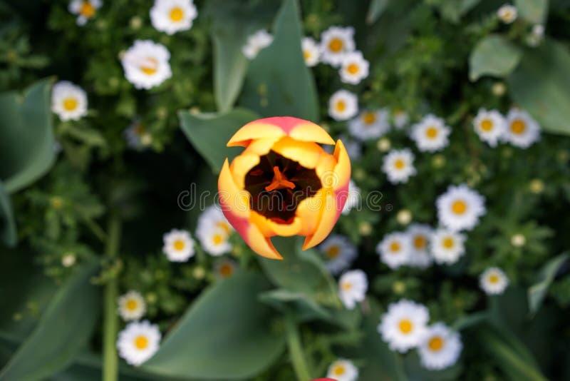 美丽的郁金香的顶视图 免版税库存图片