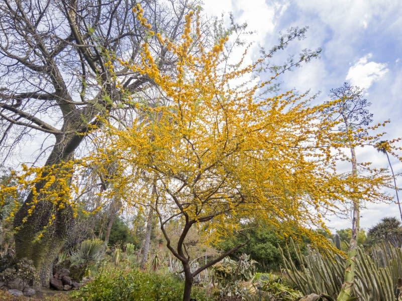 美丽的金合欢chinchillensis (黄鼠篱笆条)开花 库存图片