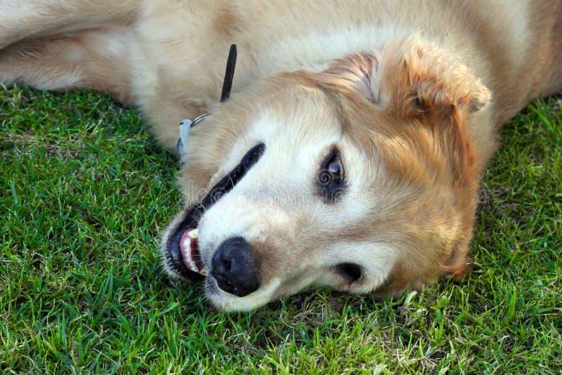 美丽的金毛猎犬 免版税库存图片