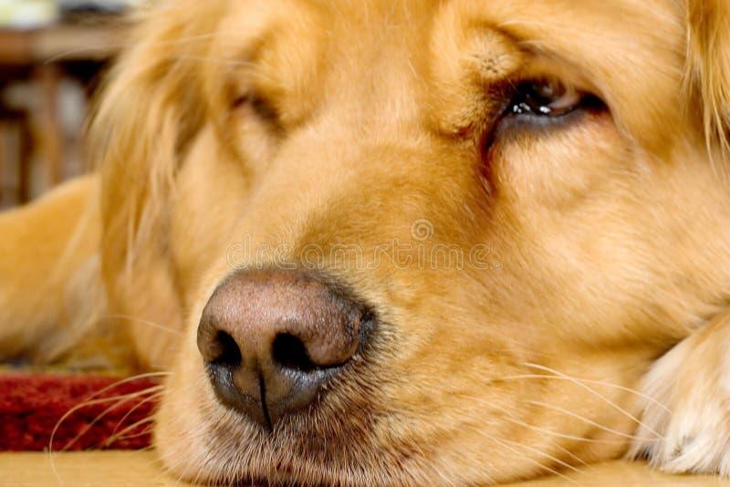 美丽的金毛猎犬 库存图片