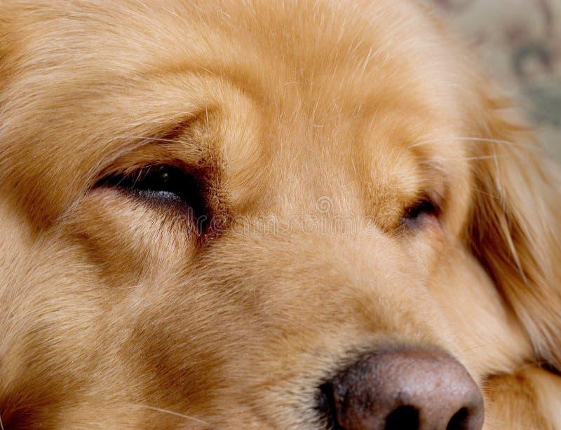 美丽的金毛猎犬 库存照片