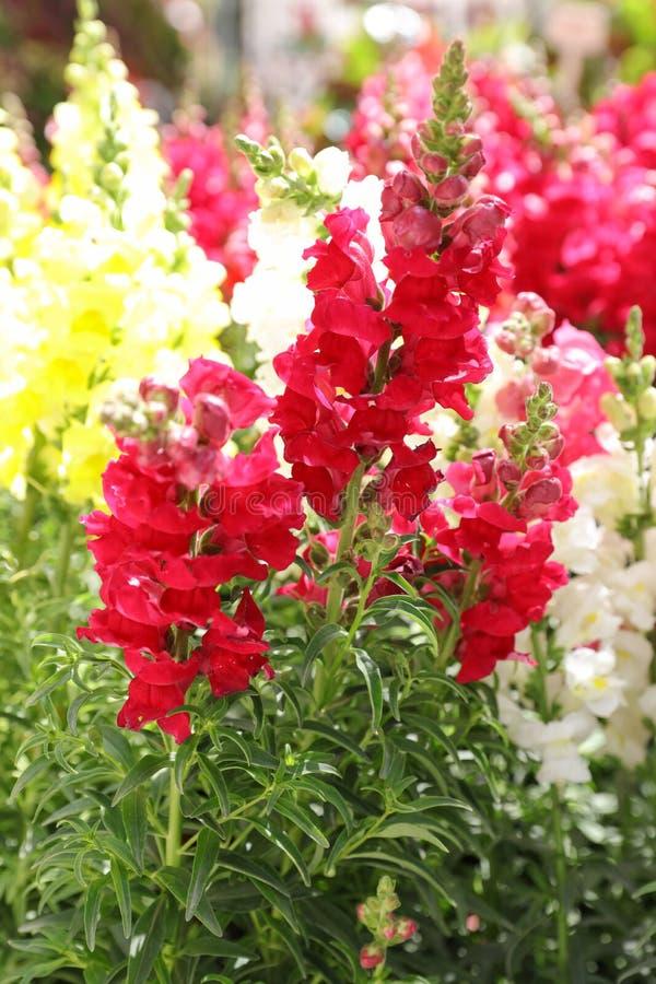 美丽的金鱼草属majus或Snapdragon花品种在红色,白色和黄色颜色在希腊庭院里 库存图片