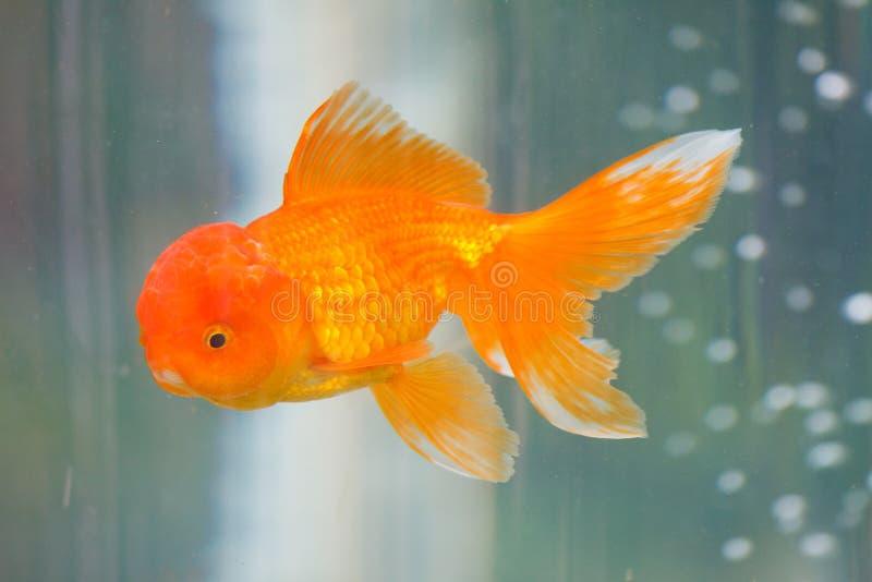美丽的金鱼 库存照片