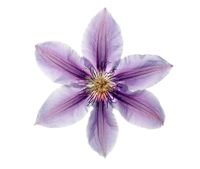 美丽的铁线莲属丁香 免版税库存照片