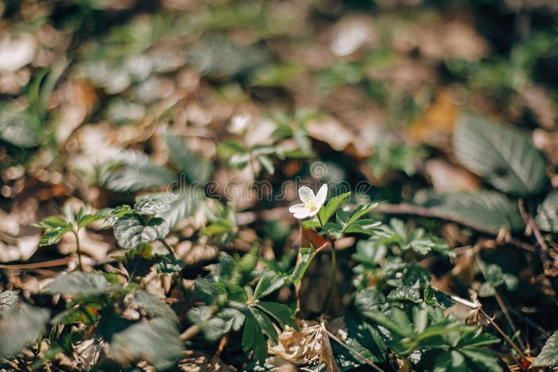 美丽的银莲花属白花在晴朗的春天森林 新鲜的第一朵花在温暖的阳光下森林春天 你好春天 免版税库存图片
