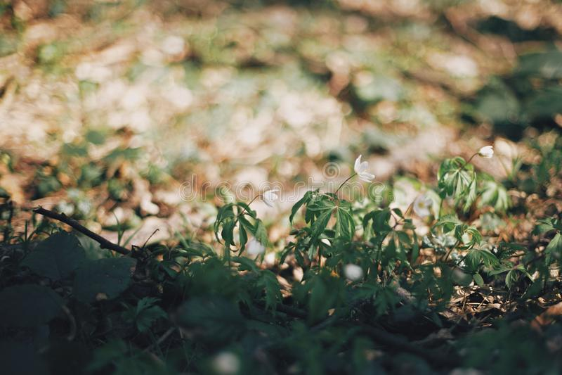 美丽的银莲花属白花在晴朗的春天森林 新鲜的第一朵花在温暖的阳光下森林春天 你好 免版税图库摄影