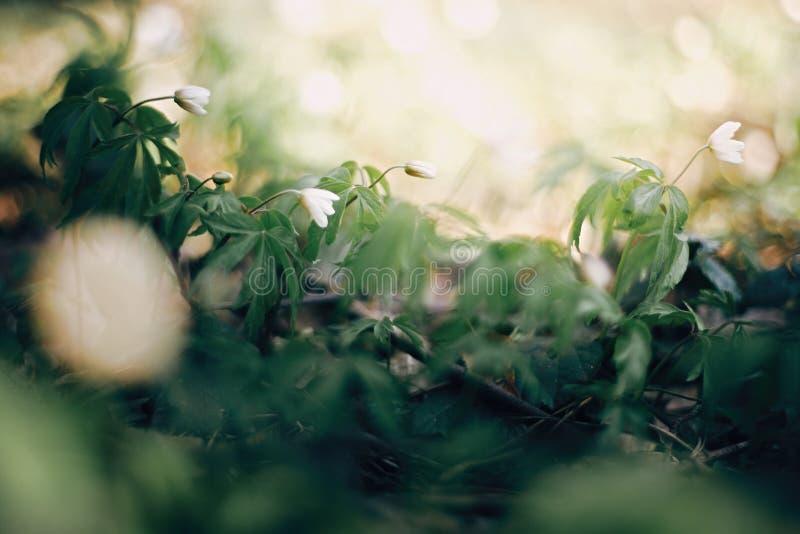 美丽的银莲花属白花在晴朗的春天森林 新鲜的第一朵花在温暖的阳光在森林里,选择聚焦下 库存图片