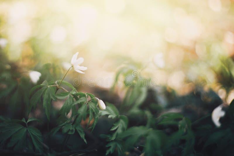 美丽的银莲花属白花在晴朗的春天森林 新鲜的第一朵花在温暖的阳光在森林里,选择聚焦下 免版税图库摄影