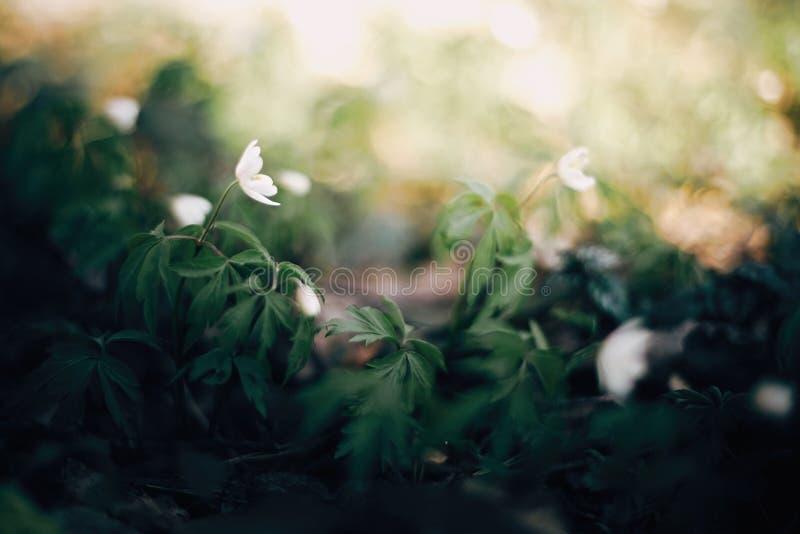 美丽的银莲花属白花在晴朗的春天森林 新鲜的第一朵花在温暖的阳光在森林里,选择聚焦下 免版税库存图片