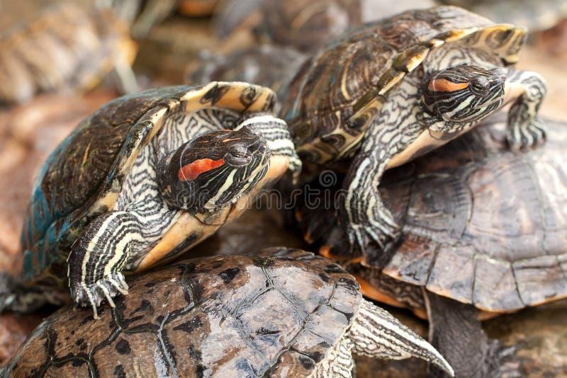美丽的镶边乌龟 库存图片
