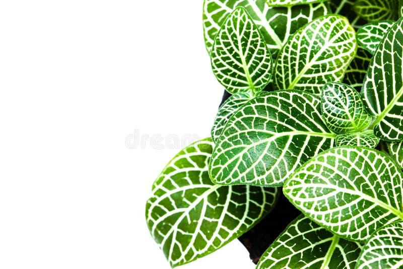 美丽的镶边叶子园林植物在白色背景关闭  库存图片