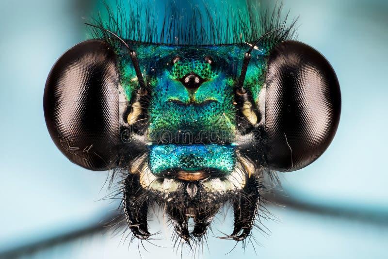 美丽的闺女,蜻蜓, Calopteryx处女座-男性 免版税库存图片
