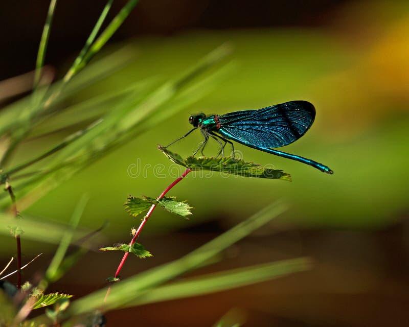 美丽的闺女, Calopteryx处女座 图库摄影