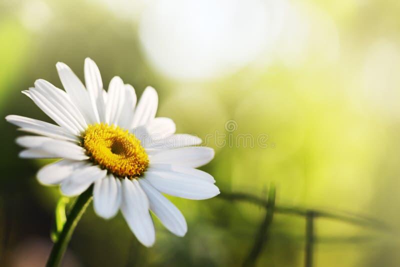 美丽的雏菊花 免版税库存照片