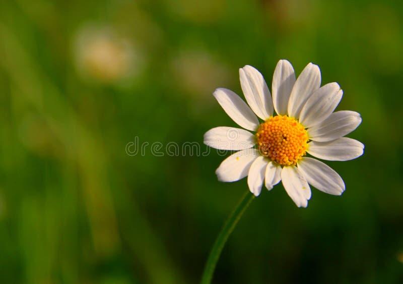 Download 美丽的雏菊花 库存图片. 图片 包括有 蓝蓝, 许多, 花卉, 颜色, 夏天, 增长, 春黄菊, 特写镜头 - 72372207