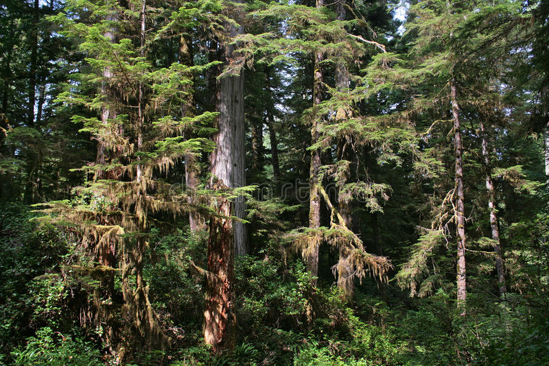 美丽的雨林在不列颠哥伦比亚省,加拿大 库存照片