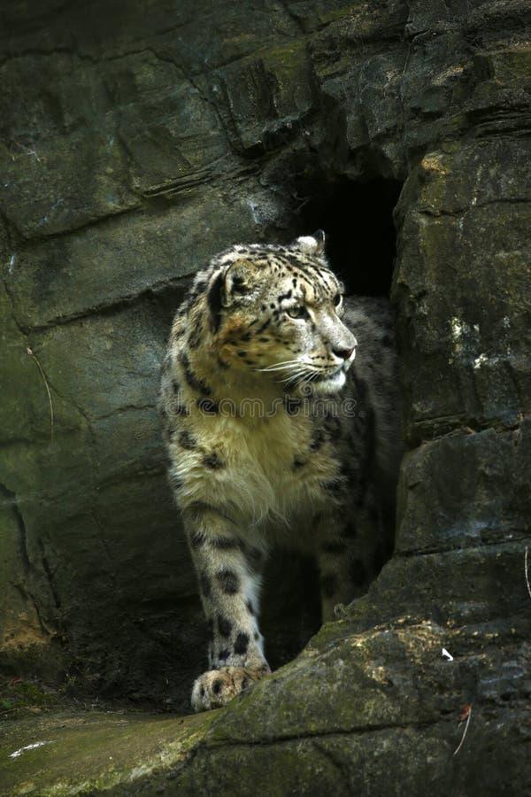 美丽的雪豹 免版税库存照片