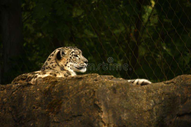 美丽的雪豹 图库摄影