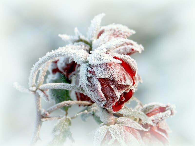 美丽的霜早晨红色玫瑰 免版税库存照片