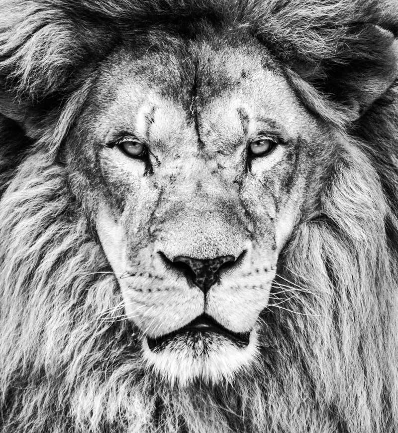 美丽的非洲狮子画象在黑白的 图库摄影