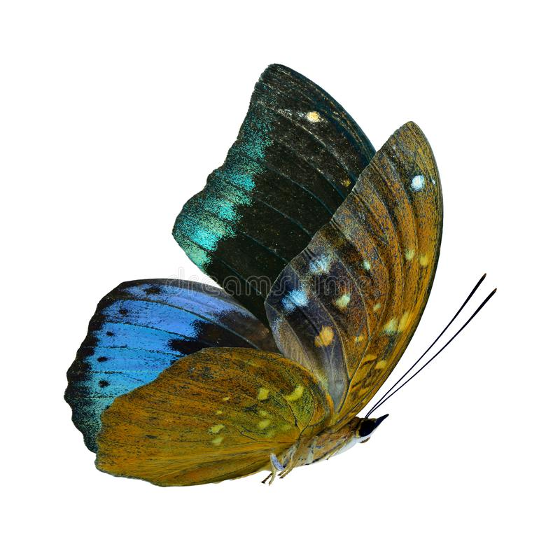 美丽的飞行的天鹅绒蓝色和绿色蝴蝶,在白色背景隔绝的共同的大公爵 库存照片