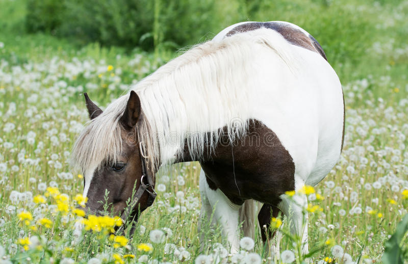 美丽的马在草甸吃草 免版税库存照片