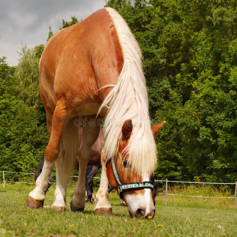 美丽的马横向草甸 免版税库存照片