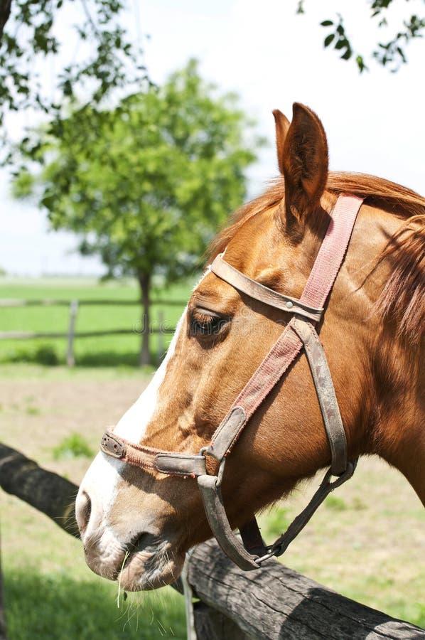 美丽的马画象 库存照片