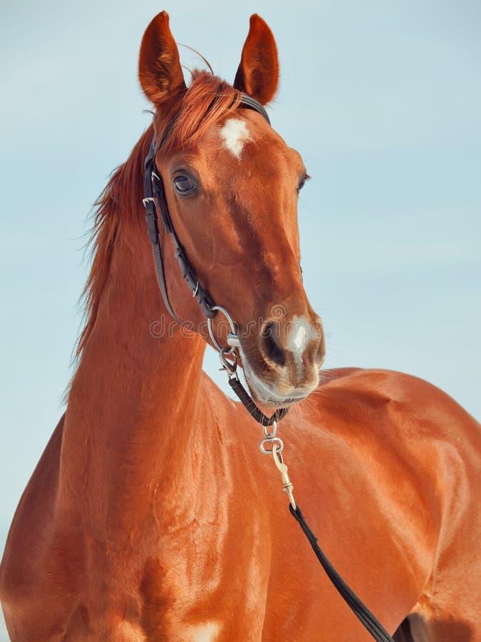 美丽的马纵向红色年轻人 图库摄影