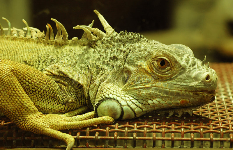 美丽的鬣鳞蜥 免版税库存图片