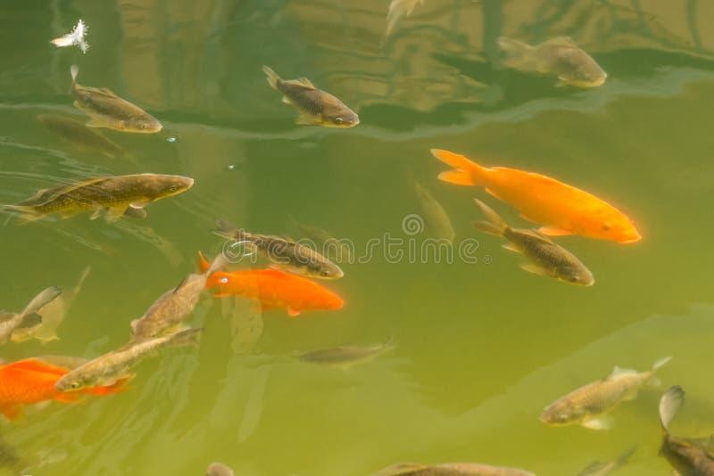 美丽的鱼在公园湖 库存图片