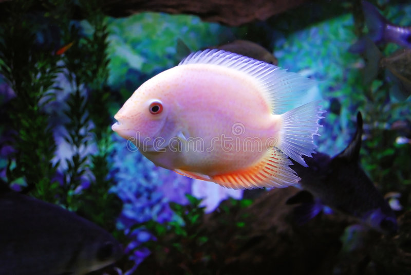 美丽的鱼 免版税库存图片