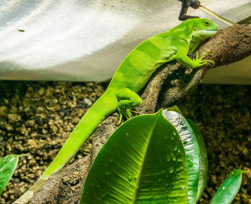美丽的鲜绿色的色的anolis蜥蜴坐一张扭转的树枝令人惊讶的特写镜头爬行动物动物画象 免版税图库摄影