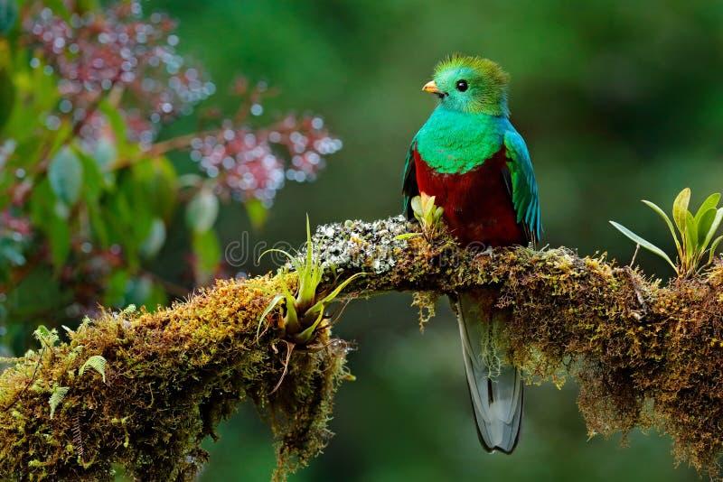 美丽的鸟在自然回归线栖所 灿烂的格查尔, Pharomachrus mocinno, Savegre在哥斯达黎加,有绿色森林backg的 免版税库存图片