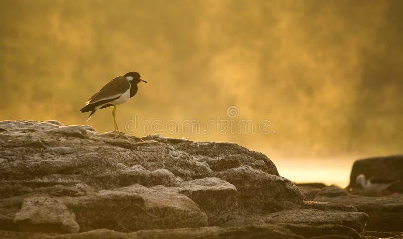 美丽的鸟红色wattled田凫坐在金黄光的岩石 免版税库存照片