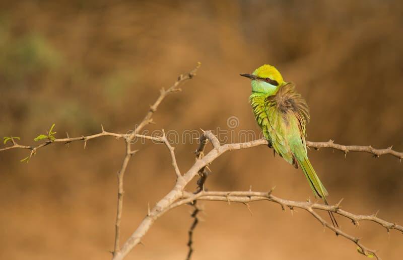 美丽的鸟绿色食蜂鸟坐树栖息处 免版税库存照片