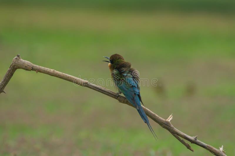 美丽的鸟蓝色被盯梢的食蜂鸟 免版税库存照片