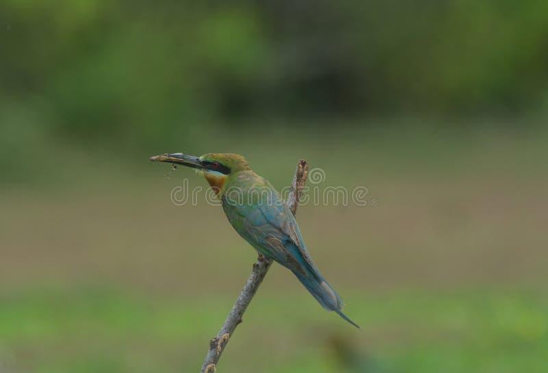 美丽的鸟蓝色被盯梢的食蜂鸟 免版税图库摄影