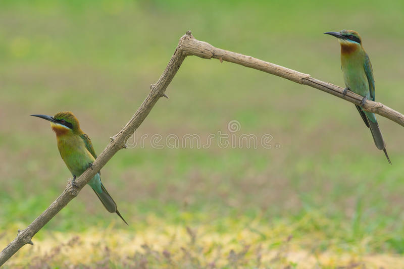 美丽的鸟蓝色被盯梢的食蜂鸟 图库摄影