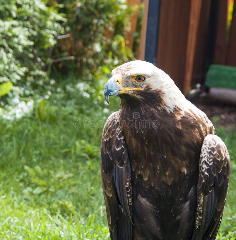 美丽的鸟食肉动物的老鹰坐草和神色,特写镜头画象 免版税图库摄影